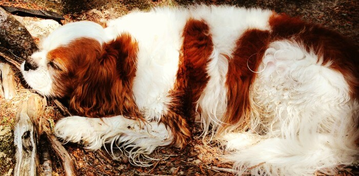 Barkley, my Blenheim, Cavalier King Charles Spaniel taking a well deserved rest after a hike.