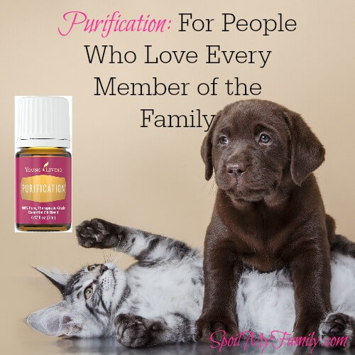 Young Living's Purification essential oil blend is the perfect blend to purify your air by eliminating odors and making your home feel welcoming. www.themidlifemamas.com #essentialoils ##purificationessentialoil #toxiccandles